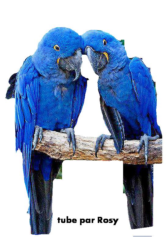 perroquets bleu